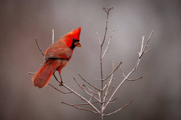 Photograph - Cardinal Looks Back by Jeff Phillippi