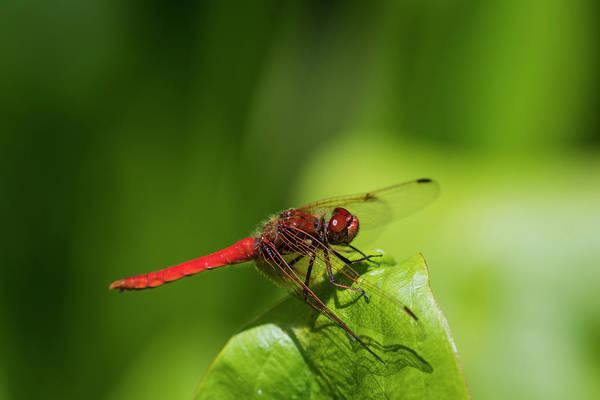 Photograph - Cardinal Meadowhawk by Robert Potts