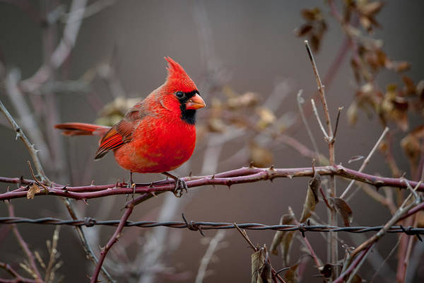 Photograph - Cardinal On A Briar by Jeff Phillippi