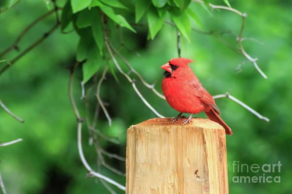 Photograph - Cardinal On A Post #3 by Richard Smith