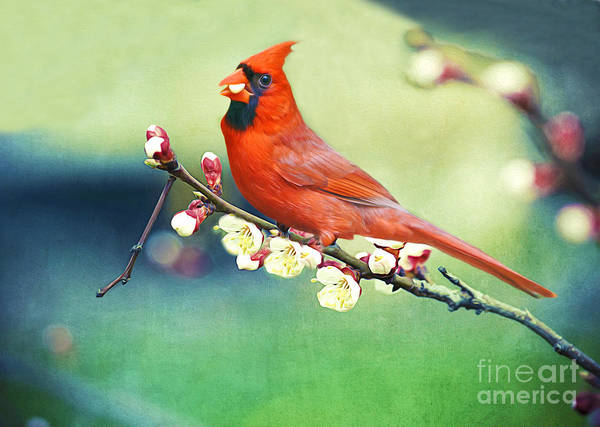 Northern Cardinal Photograph - Cardinal On Apricot Branch by Laura D Young