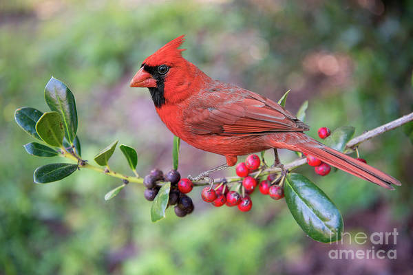 Wall Art - Photograph - Cardinal On Holly Branch by Bonnie Barry