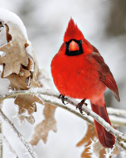 Wall Art - Photograph - Cardinal On Ice by Lana Trussell