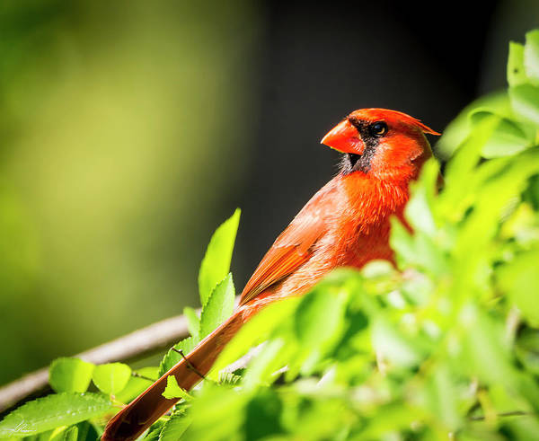 Photograph - Cardinal by Philip Rispin