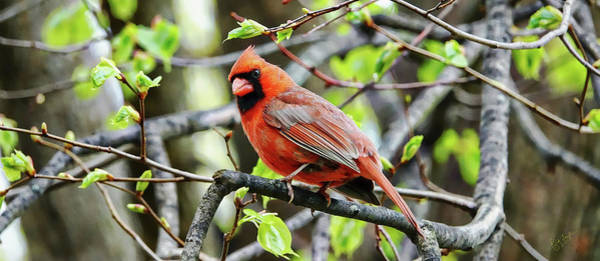 Photograph - Cardinal by Rick Lawler