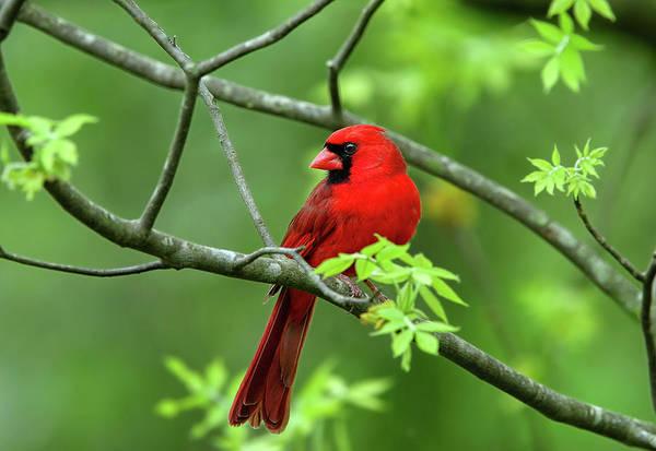 Photograph - Cardinal by Ronnie and Frances Howard