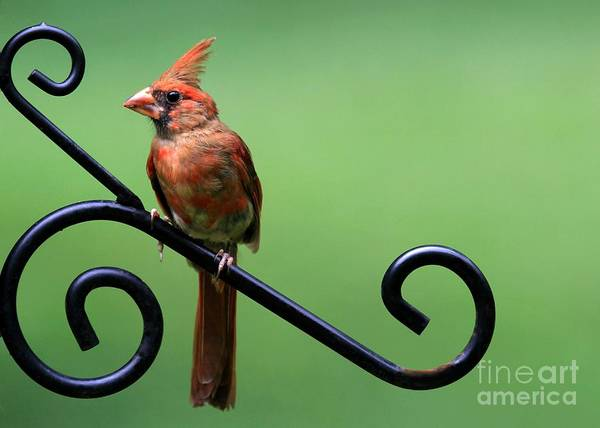 Photograph - Cardinal by Sabrina L Ryan