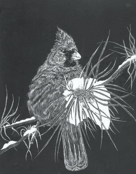 Mixed Media - Cardinal Scratch Board by Darren Cannell