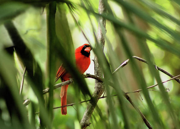 Photograph - Cardinal Spy by Karl Ford
