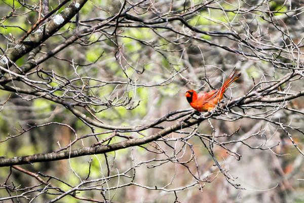 Photograph - Cardinal by Steven Ralser