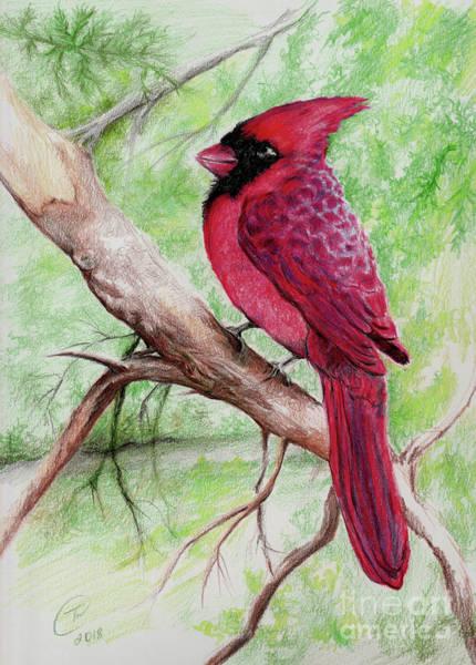 Red Cardinal Drawing - Cardinal  by Trena Guthridge