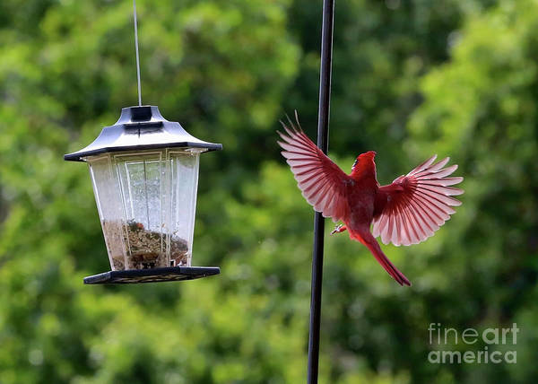 Wall Art - Photograph - Cardinal Wings by Carol Groenen