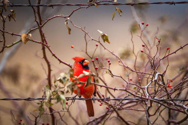 Photograph - Cardinal With A Mouthful Of Hips by Jeff Phillippi