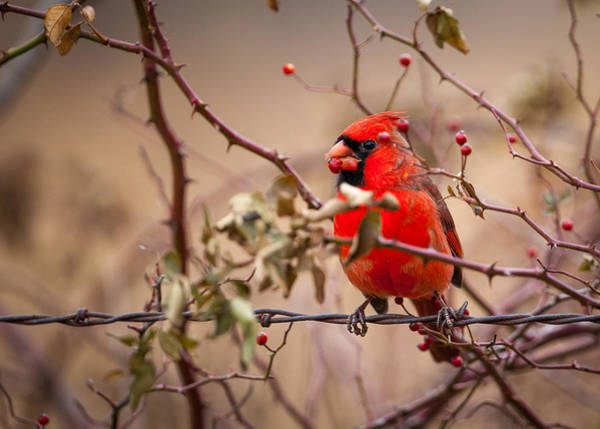Photograph - Cardinal With Briar Hip by Jeff Phillippi