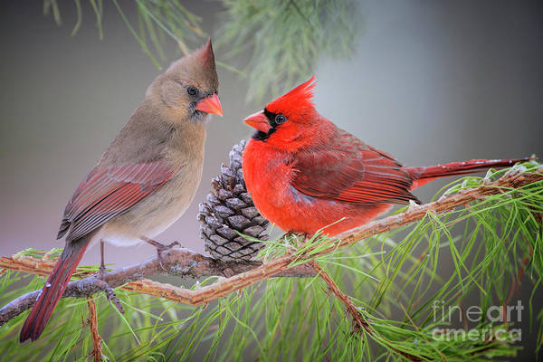 Wall Art - Photograph - Cardinals In Pine by Bonnie Barry
