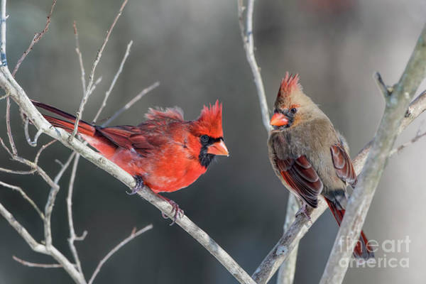 Wall Art - Photograph - Cardinals On A Gray Day by Bonnie Barry