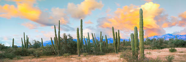 Baja California Peninsula Wall Art - Photograph - Cardon Cactus Plants In A Forest by Panoramic Images