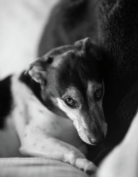 Jack Russell Wall Art - Photograph - Cared For by Mike Reid