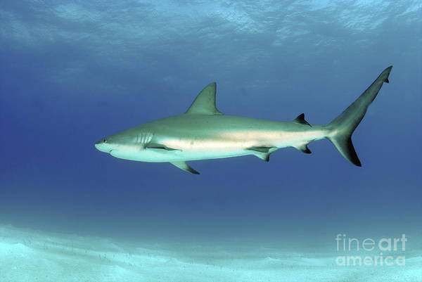 Carcharhinidae Photograph - Caribbean Reef Shark, Nassau, The by Amanda Nicholls
