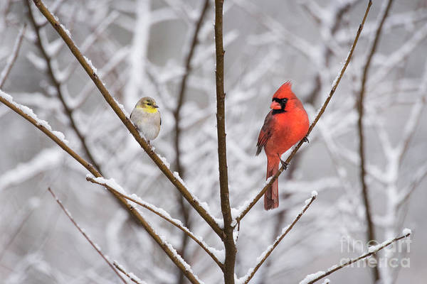 Photograph - Goldfinch And Cardinal by Katie Joya