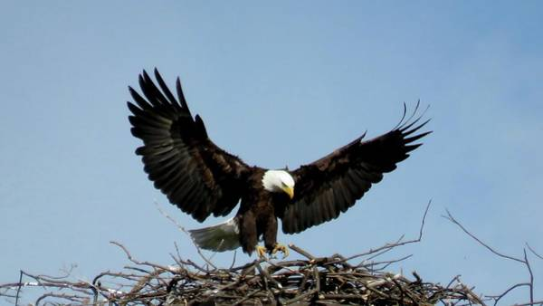 Photograph - Cape Vincent Eagle by Dennis McCarthy
