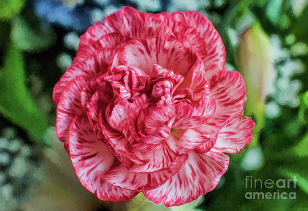 Photograph - Carnation by Adrian Evans