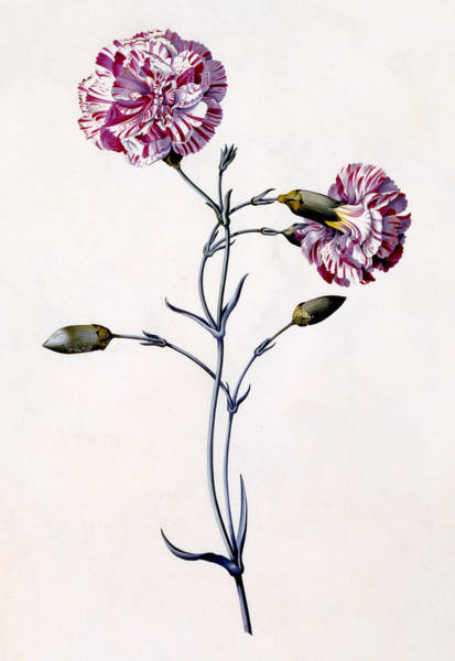 Wall Art - Painting - Carnation by Georg Dionysius Ehret