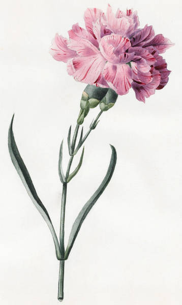 Pink Drawing - Carnation by Louise D'Orleans