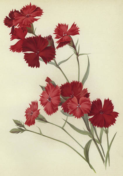 Carnation Painting - Carnations by English School