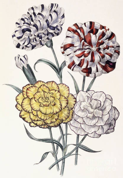 Carnation Painting - Carnations by Jane Loudon
