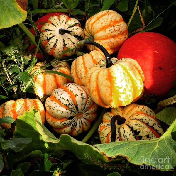 Photograph - Carnival Squash by Angela Rath