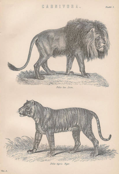 Quaint Drawing - Carnivores Lion Tiger by Victorian Engraver