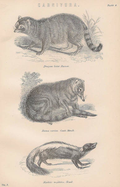 Boho Chic Drawing - Carnivores Racoon Skunk by Victorian Engraver