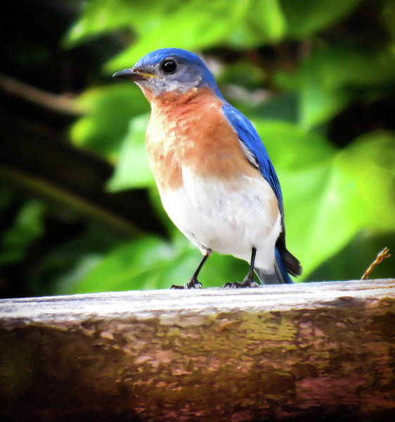Photograph - Carolina Bluebird Male by Karen Wiles
