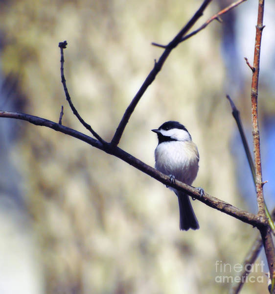 Radford Photograph - Carolina Chickadee At Bisset Park - Radford,virginia  by Kerri Farley