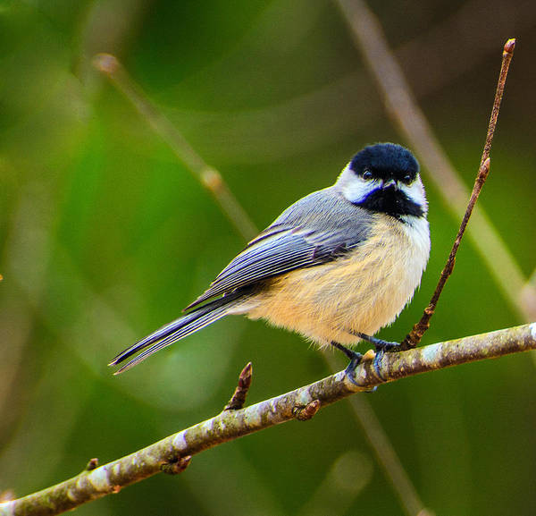 Photograph - Carolina Chickadee by John Harding