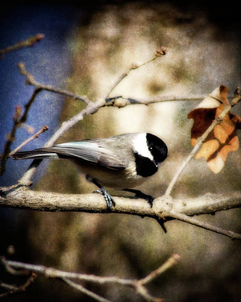 Wildbird Photograph - Carolina Chickadee by Lana Trussell