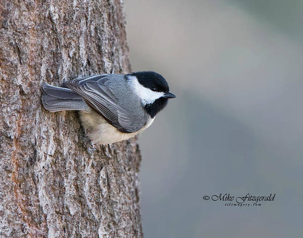 Photograph - Carolina Chickadee by Mike Fitzgerald