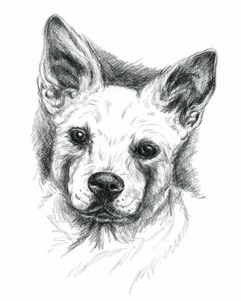 Drawing - Carolina Dog Charcoal Portrait by MM Anderson