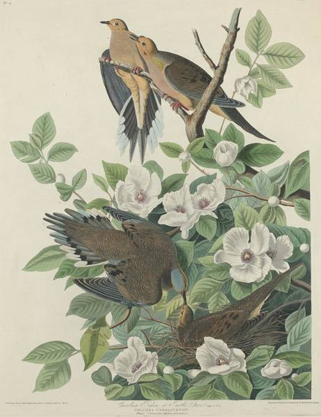 Wall Art - Drawing - Carolina Pigeon Or Turtle Dove by Dreyer Wildlife Print Collections