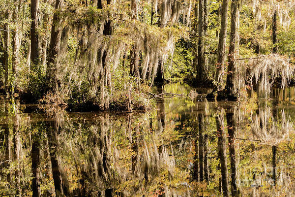 Golden Gardens Photograph - Carolina Swamp by DiFigiano Photography