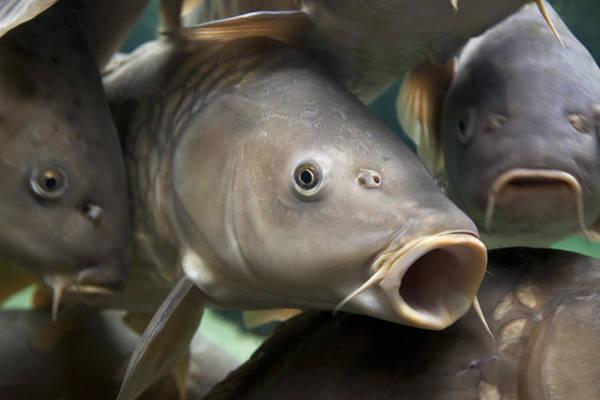 Fisheye Photograph - Carp by Jane Rix