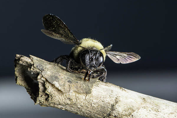 Photograph - Carpenter Bee by John Benedict