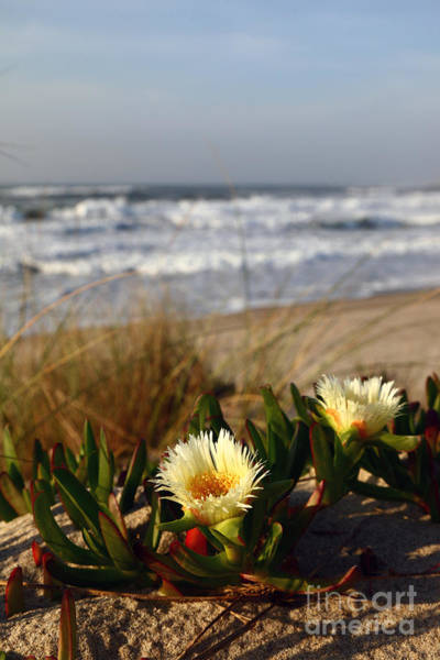 Photograph - Carpobrotus Flowers In Sand Dunes Portugal by James Brunker
