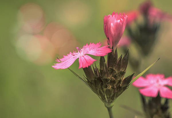 Carthusian Photograph - Carthusian Pink by Tim Abeln