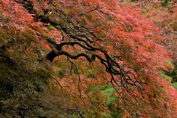 Photograph - Cascading Japanese Maple by Wes and Dotty Weber