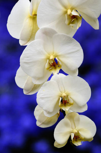 Wall Art - Photograph - Cascading Orchid 2 by Don Schroder