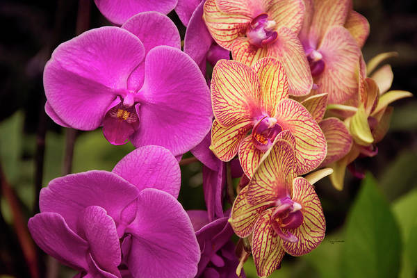 Photograph - Cascading Orchids by Penny Lisowski
