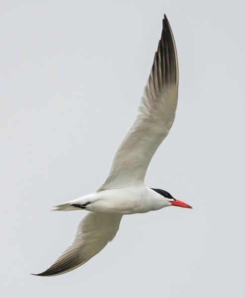 Elegant Tern Wall Art - Photograph - Caspian Tern In Flight by Loree Johnson