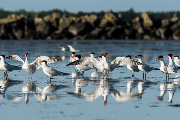 Photograph - Caspian Terns by Robert Potts